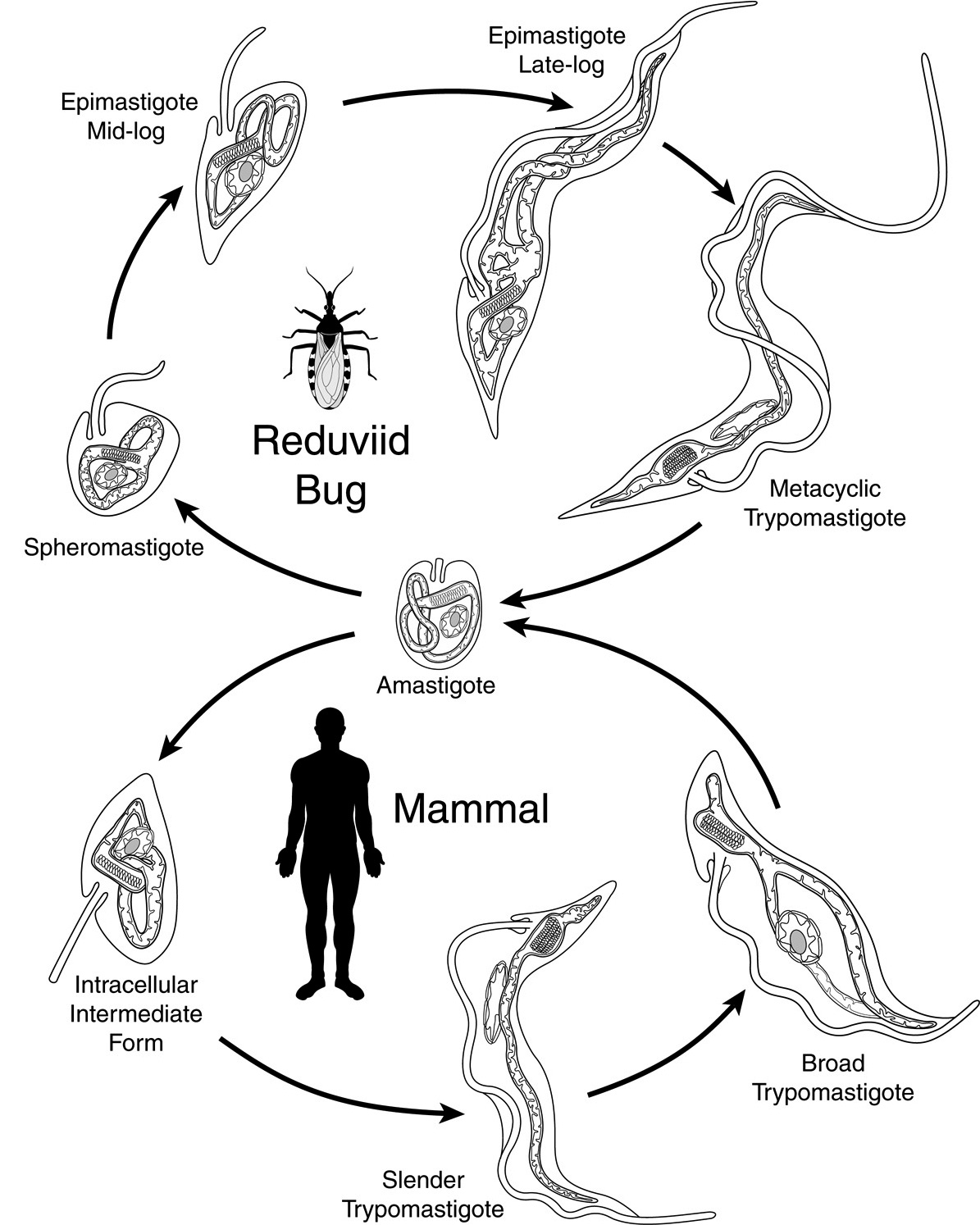 what kind of parasite affects the skin in florida